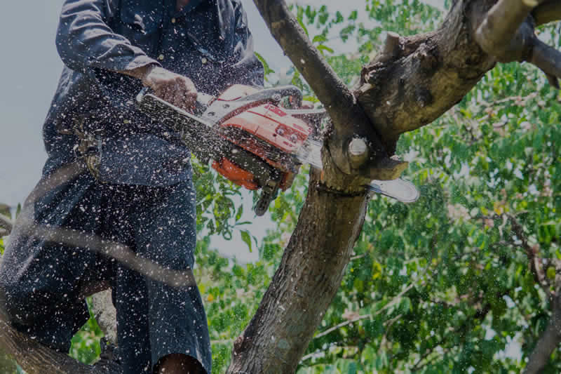 Tree Trimming Services in Phoenix
